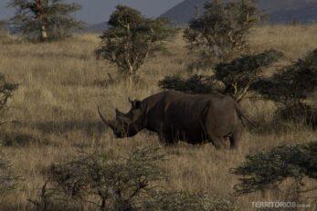 Rinoceronte na vida selvagem