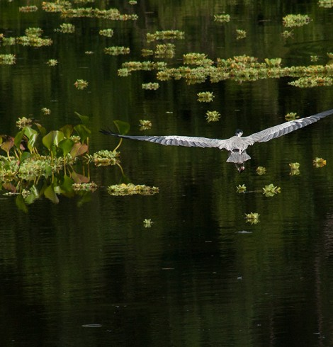 Garça pesca no Pantanal