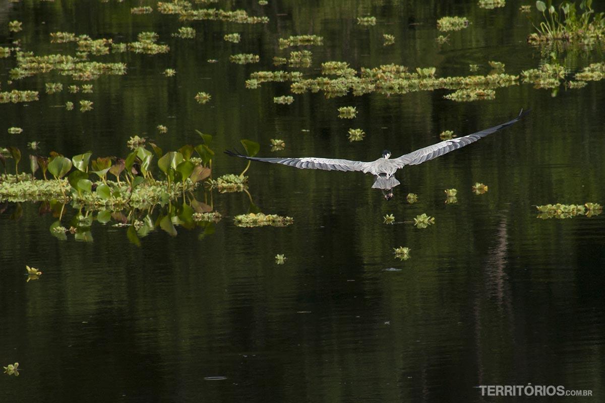 Garça plana sobre o Rio Miranda, no Pantanal