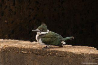 Martins Pescador visto durante o Safari fotográfico