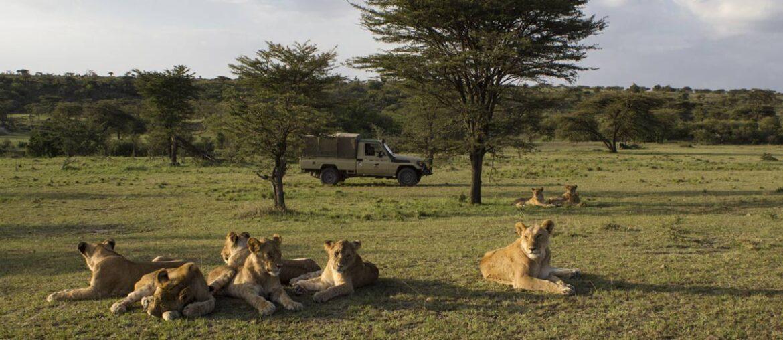 Leões observados durante safari em Masai Mara
