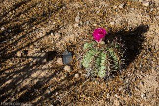 Cactus em flor no jardim botânico do deserto