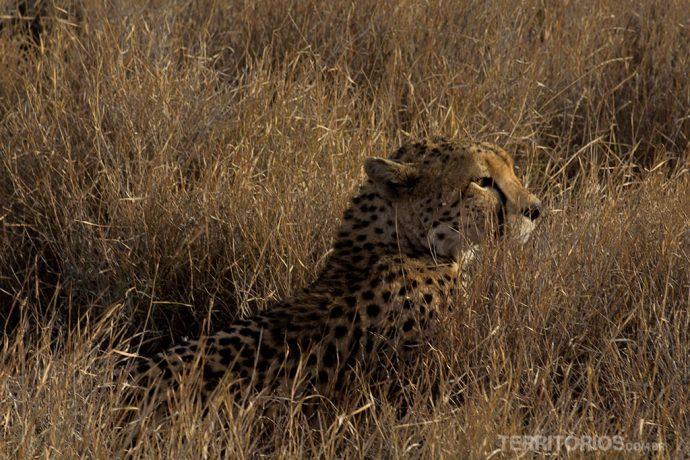 Cheeta em Lewa é vida selvagem