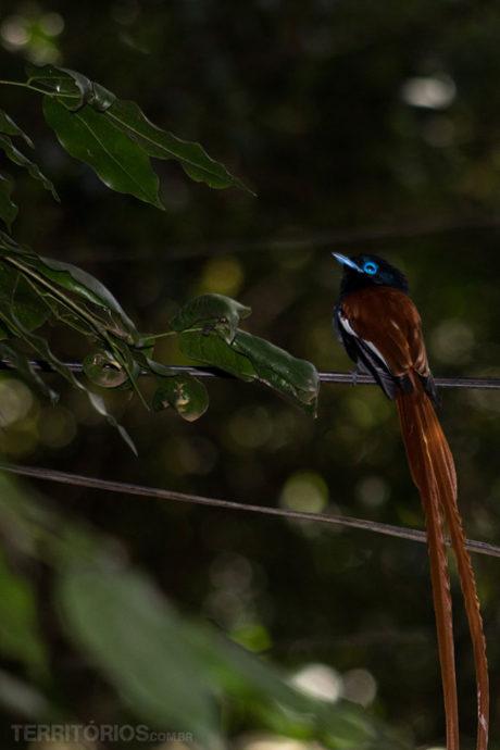 Flycatcher em Nairóbi