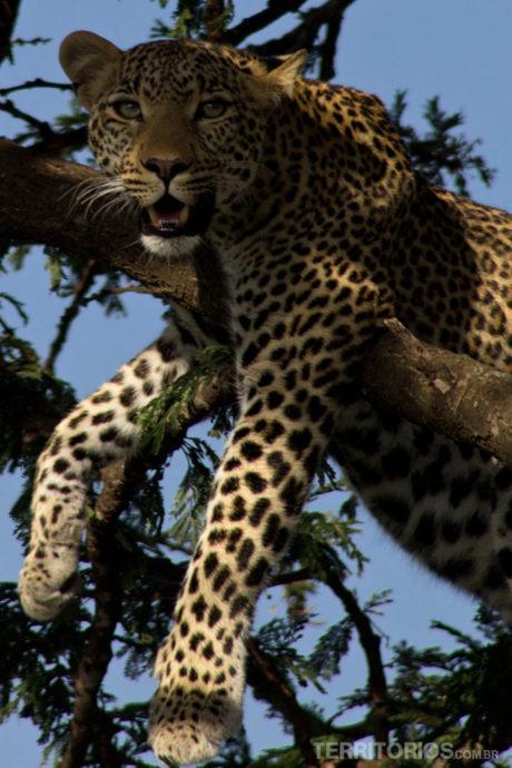 Melhores fotos de leopardo em Maasai Mara