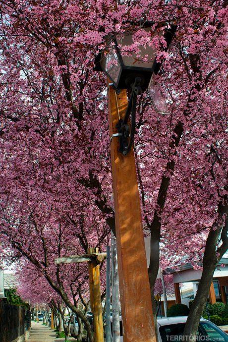 Ameixeiras em flor nas ruas de Bariloche