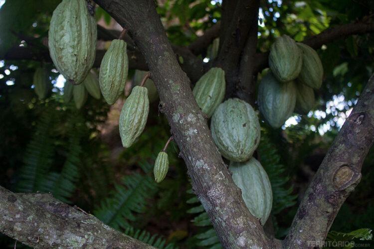 Apesar de termos conhecido o cacau, café e índigo por outras civilizações, as descobertas comprovam que os Maias já utilizavam estas matérias primas há muito mais tempo. Esta árvore estava perto das escavações