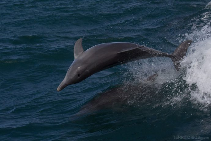Golfinhos surfando na marola da lancha