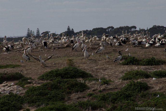 Colônia de pelicanos