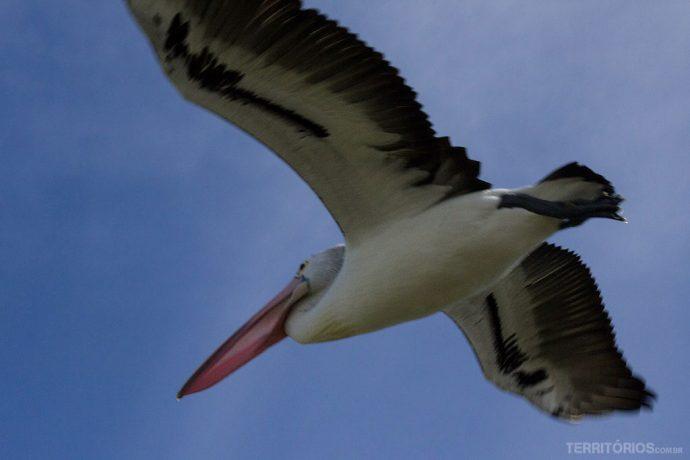 O enorme pelicano