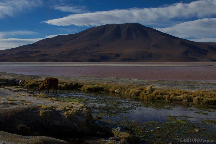 Lhama na Laguna Colorada, uma lagoa cor de rosa na Bolívia