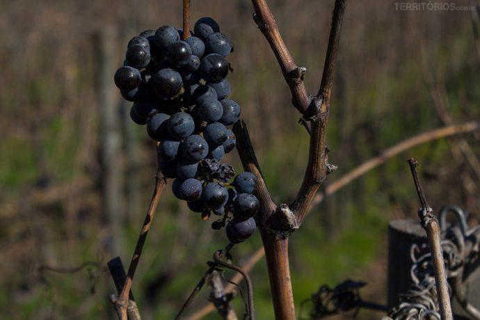 Cacho de uva que restou da última colheita