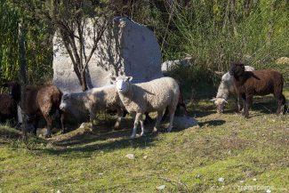 Ovelhas no Vale do Colchagua
