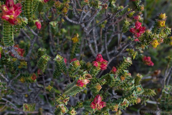 Flor silvestre na Table Mountain