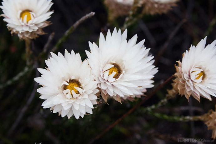 Flores no topo da Table Mountain