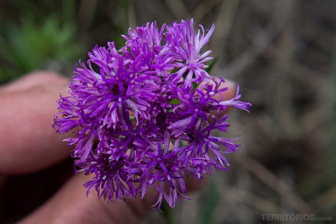 Flor silvestre lilás