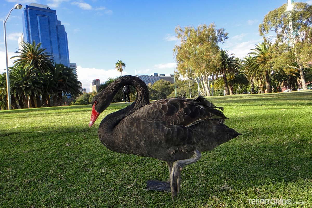 Cisne negro em Perth, Western Australia - Austrália