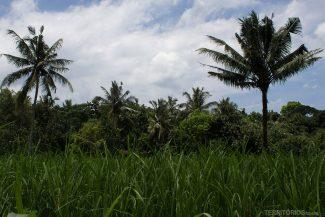 No meio da plantação de arroz