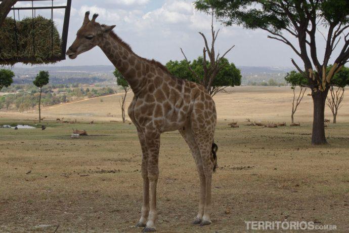 Filhote de girafa no Lions Park