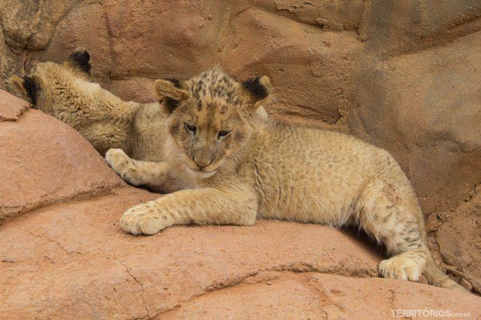 Filhote de leão no Lions Park