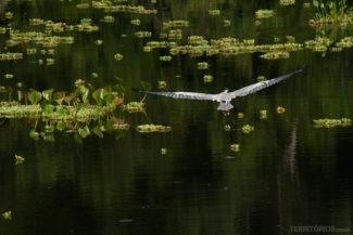 Garça pescadora vista durante o Safari fotográfico
