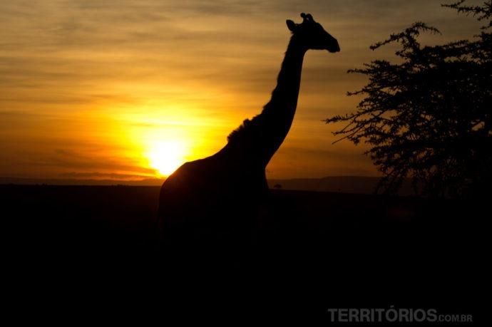 Girafa no pôr do sol em Maasai Mara