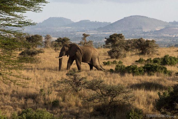 Elefante solitário e enorme em Lewa