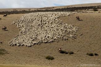 Melhores fotos da Patagônia: ovelhas no Pampa