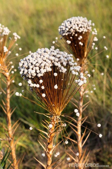 flora do jalapão