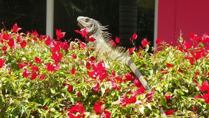 As iguanas circulam livremente entre os hóspedes