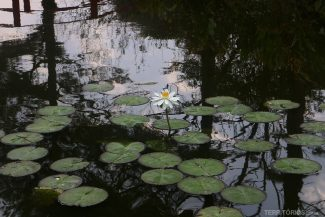 Flor de lótus no jardim