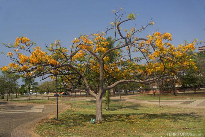 Árvore florida na Praça dos Girassóis