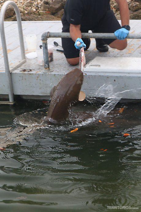 tubarões em Key West