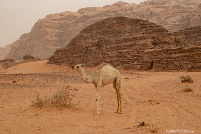 Filhote de dromedário no deserto Wadi Rum