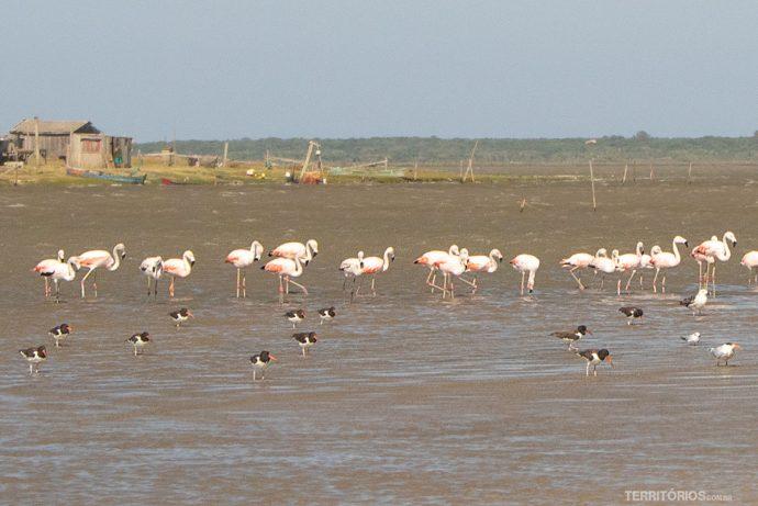 Os famosos flamingos, pirupirus, talha-mar e gaivota na Barra da Lagoa do Peixe