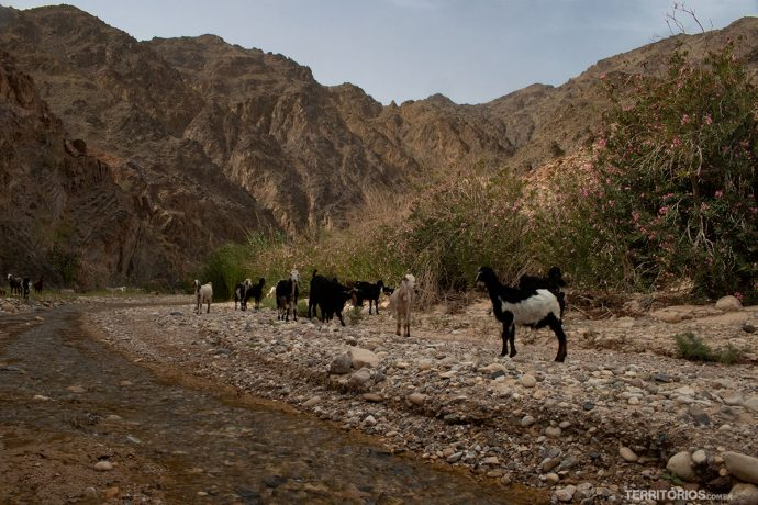 Cabras na trilha