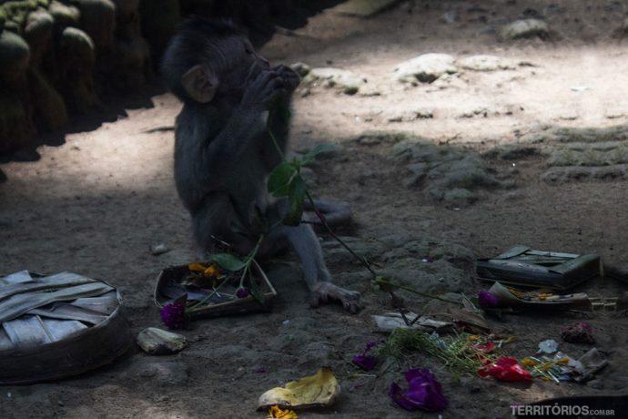 Filhote de macaco come oferendas
