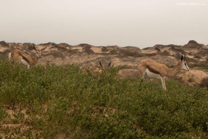 Antílopes no deserto a caminho de Na duna mais alta de Sandwich Harbour