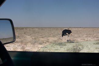 Avestruz vista o carro durante o self drive safari
