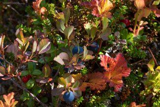 Berries pelos campos de Dalarna