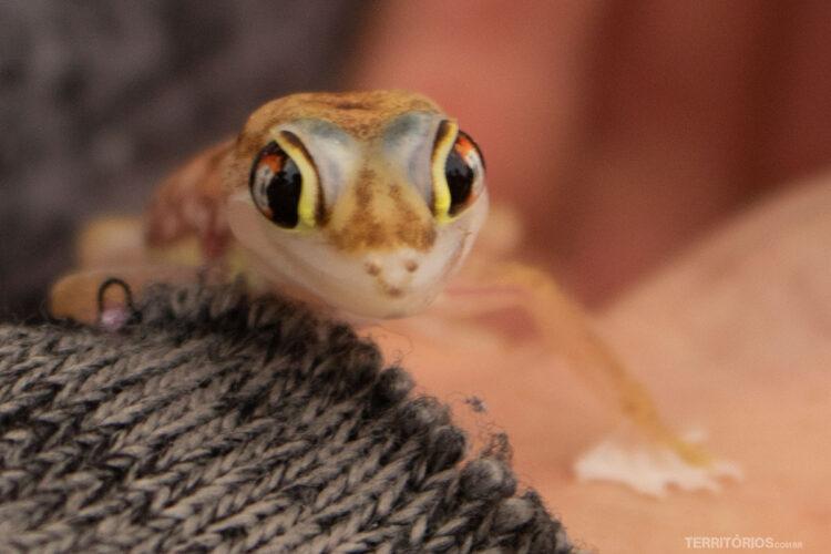 Lagarto encontrado nas dunas da Namíbia
