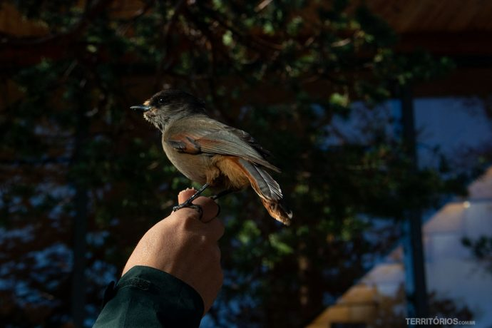 Siberian Jay a salvo na Floresta ancestral
