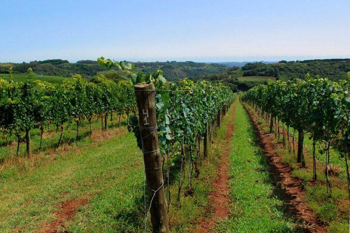 Parreirais de uvas Chardonnay, ideal para a produção de espumantes em Pinto Bandeira