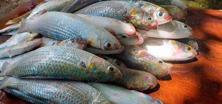 Peixe pescados